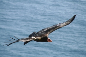 Condor on the coast_Joe Burnett