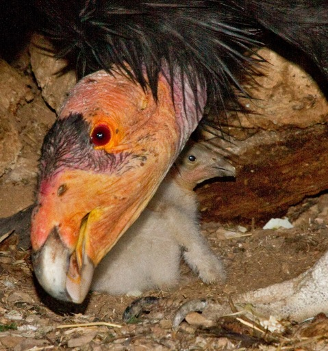 condor with nestling
